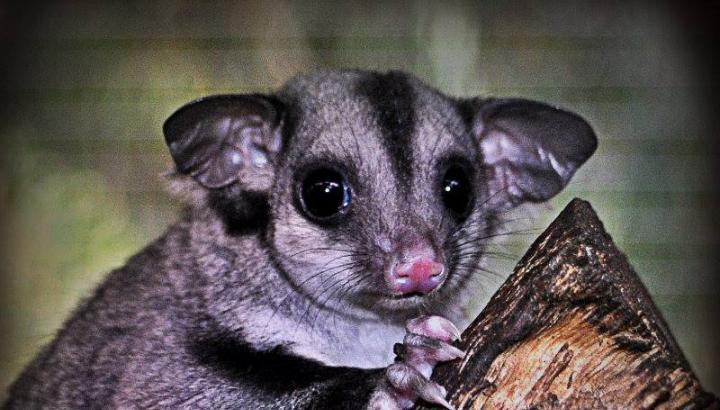 Classification: Marsupial » Caversham Wildlife Park